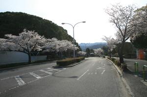 Sakura_005